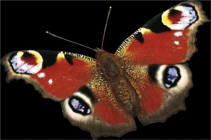 Schmetterling_frei